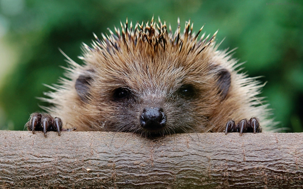 Hedgehog paws: carrying a hedgehog paw in a leather pouch around your neck will cure toothache